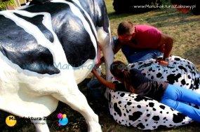 sztuczna krowa do dojenia